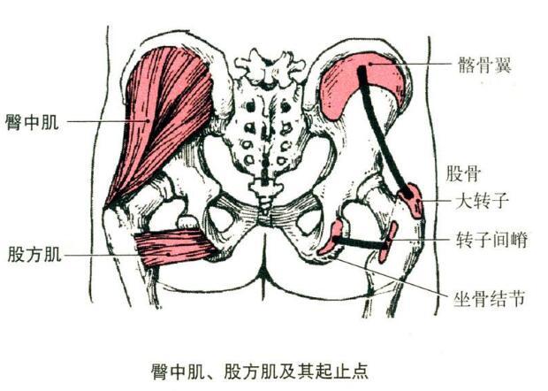臀中肌和臀小肌的解剖